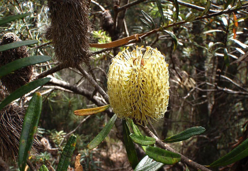 Banksia Bottlebrush